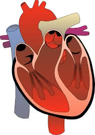 Graphic Courtesy: http://clipartbarn.com/human-heart-clipart_9948/