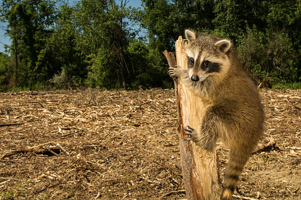 A+baby+raccoon+clinging+to+the+tree+that+was+once+her+home+after+habitat+was+cleared+for+a+new+housing+development.