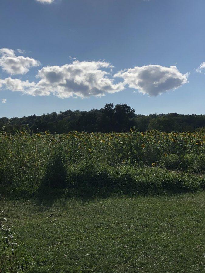 Get lost in the Sussex Sunflower Maze